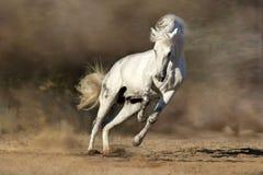 Vit häst i rörelse Fotografering för Bildbyråer