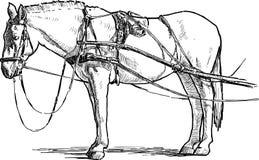 Vit häst i sele Royaltyfria Foton