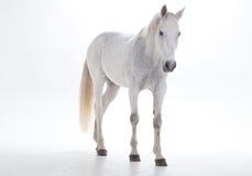 Vit häst i studio Royaltyfri Bild