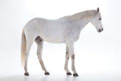 Vit häst i studio Arkivfoton