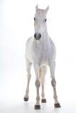 Vit häst i studio Arkivfoto