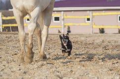 Vit häst och lycklig svart hund i en paddock Arkivfoto