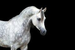 Vit häst som isoleras på svart, arabisk häst Arkivbild