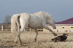 Vit häst som spelar med den lyckliga svarta hunden i en paddock Royaltyfri Fotografi