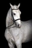 Vit häststående Royaltyfria Bilder