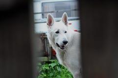 Vit hund Royaltyfria Foton