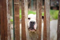 Vit hund bakom av ett trästaket Arkivbild