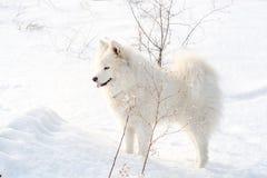 Vit hund för Samoyed på snö Arkivfoton