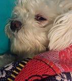 Vit hund i en röd filt Royaltyfri Fotografi
