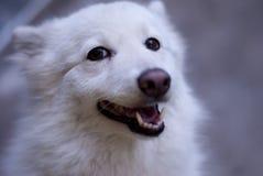 Vit hund i närbild Arkivfoto