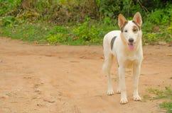Vit hund i Thailand Royaltyfri Bild