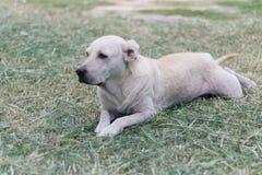 Vit hund labrador som ligger på gräs royaltyfri bild