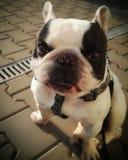Vit hund med leende Royaltyfria Bilder