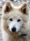 Vit hund med snälla ögon arkivfoton