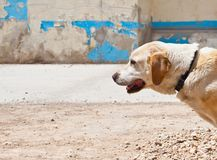 Vit hund och blå vägg arkivfoton