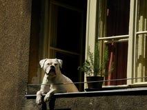 Vit hund på fönstret Arkivbilder