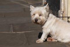 Vit hund på gatan Arkivfoto