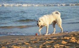 Vit hund på stranden med den röda bollen Royaltyfria Bilder