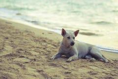 Vit hund på strandkohlarnen Pattaya Arkivfoto