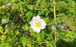 Vit hund-ros blomma Arkivfoto