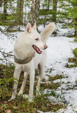 Vit hund som är skrovlig i skog Royaltyfri Fotografi
