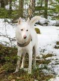 Vit hund som är skrovlig i skog Arkivfoton