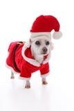 Vit hund som bär en röd och vit santa dräkt royaltyfria bilder