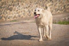 Vit hund som går på gatan Royaltyfria Bilder