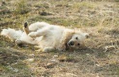 Vit hund som ligger på dess sida i gräset arkivbilder