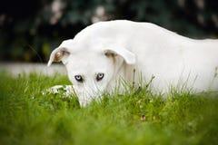 Vit hund som ligger på gräset Arkivbild