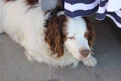 Vit hund som ligger under tabellen Royaltyfria Bilder