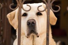 Vit hund som ser ledsen bak metallstaketet fotografering för bildbyråer