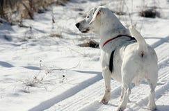 Vit hund som stås på snö Royaltyfria Bilder