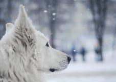 Vit hund under snö Fotografering för Bildbyråer