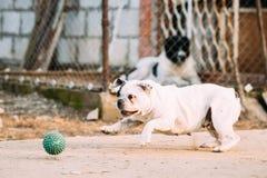 Vit hundlek för fransk bulldogg med bollen i gård Fotografering för Bildbyråer