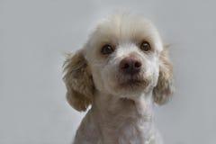 Vit hundstående Fransk pudelvitman Arkivfoto