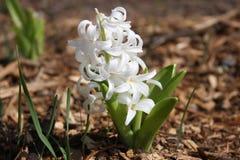 Vit hyacintblomma Fotografering för Bildbyråer
