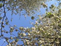 Vit hyser trädet Royaltyfria Bilder