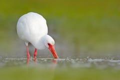 Vit ibis, Eudocimus albus, vit fågel med den röda räkningen i vattnet, matande mat i sjön, Florida, USA Djurlivplats med ib Royaltyfri Foto