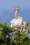 Vit ibis i träd Arkivbild