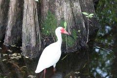 Vit ibis i träsket Arkivbilder