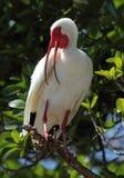 Vit ibis med den öppna räkningen Arkivbild