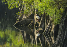 Vit ibis - morgonpromenad Arkivfoto