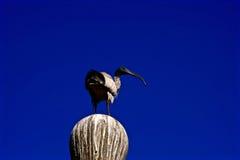 Vit ibis mot en blå himmel Arkivbild