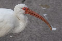 Vit ibisfågel från flamingobotanisk trädgård nära Fort Lauderdale royaltyfri foto