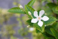 Vit Inda blomma Fotografering för Bildbyråer