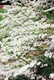 Vit inflorescence av spiraeabusken Royaltyfria Bilder