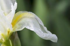 Vit iris med den gula vanliga reklambladet för skägg eventuellt Royaltyfri Fotografi