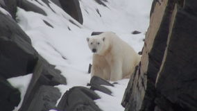 Vit isbjörn som går på insnöat ett ensamt av is av Spitsbergen stock video