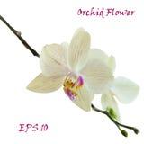 Vit isolerad orkidéblomma arkivbild